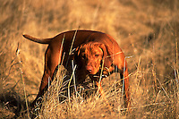 Portrait of a a Vizla pointer dog hunting in a field.
