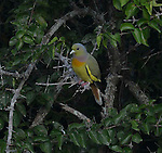 Yala National Park Sri Lanka<br /> Orange-breasted Green Pigeon