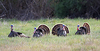 Wild turkey males display in Pinnacles National Park.