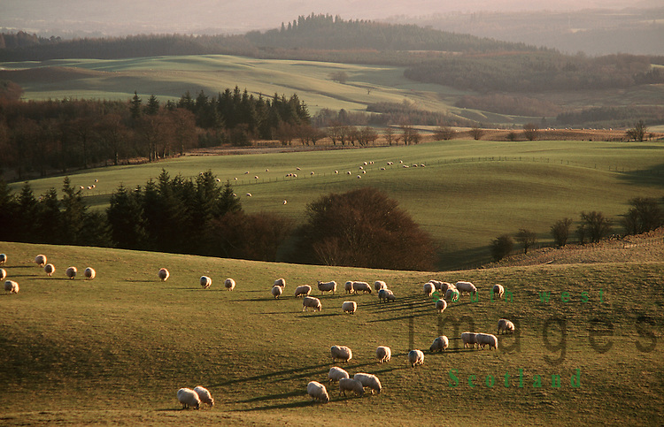 Nithsdale low winter light sything across the agricultural landscape where sheep are grazing looking towards Drumlanrig Castle Scotland UK