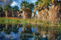 Pond reflecton and palm trees. Coachella Valley Preserve, Simone Pond, MacCallum Grove, California