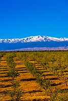 A foreground of olive trees near the town of Guadix, with the snowcapped peaks of the Sierra Nevada Mountains behind, Granada Province, Andalusia, Spain.