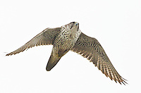 Adult gyrfalcon on a sortie flight in search of prey. <br /> Hastings Park near Vancouver, British Columbia, Canada<br /> 2/1/2013
