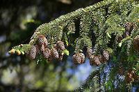 Sitka-Fichte, Sitkafichte, Picea sitchensis, Sitka spruce, L'Épinette de Sitka, Épicéa de France