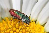 Fleckhals-Prachtkäfer, Fleckhalsprachtkäfer, Anthaxia fulgurans, Jewel Beetle