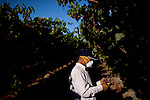 Artemio Tapia picks table grapes in Fresno, Calif., September 24, 2012.