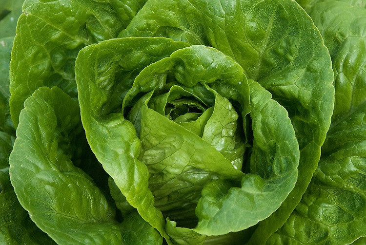 Lettuce 'Winter Density', mid June. A hardy, semi-cos lettuce sown in autumn to overwinter for harvesting the following spring.