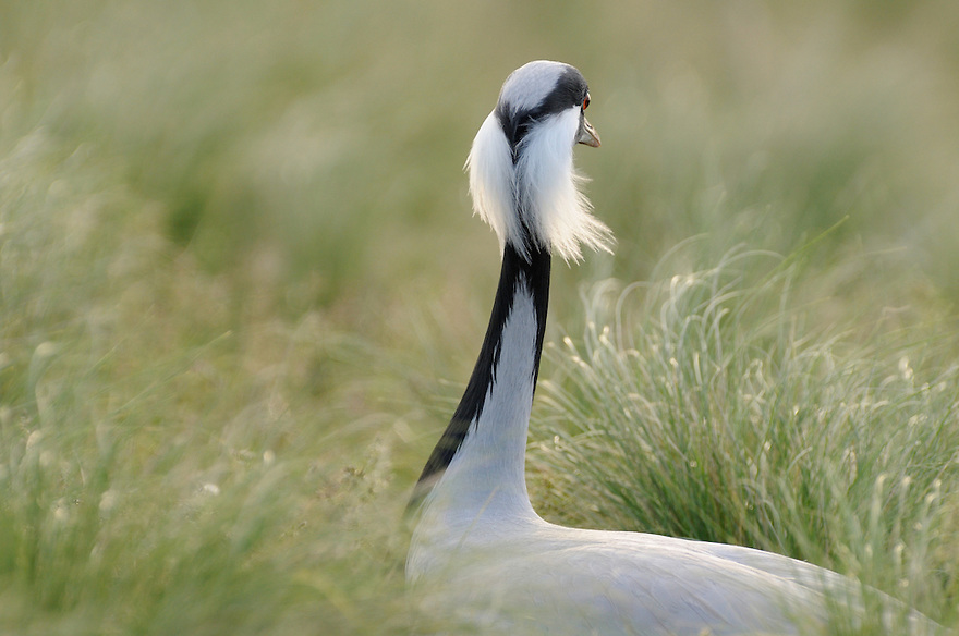 Mission: Saiga .A demoiselle crane (Anthropoides virgo) during the mating period in the steppe of Cherniye Zemly (Black Earth) Nature Reserve, Kalmykia, Russia, April 2009  (Anthropoides virgo).
