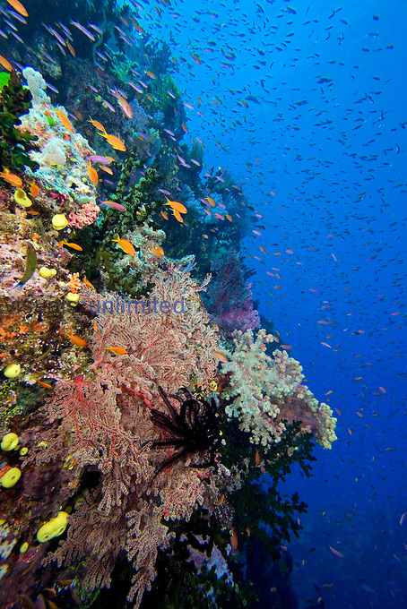 Alconarian and Gorgonian Corals with schooling Anthias dominate this Fiji reef scene.