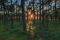 Solnedgång bland träd på Torö i Stockholms skärgård. / Stockholms archipelago Sweden.