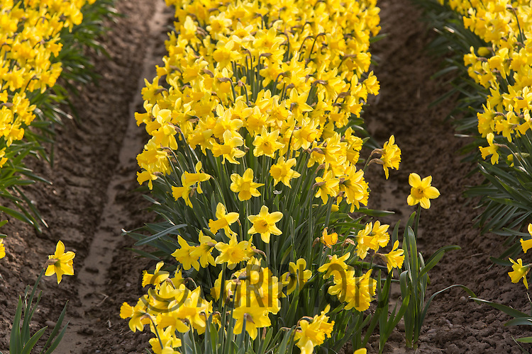 Daffodils in the Lincolnshire Fens<br /> Picture Tim Scrivener 07850 303986