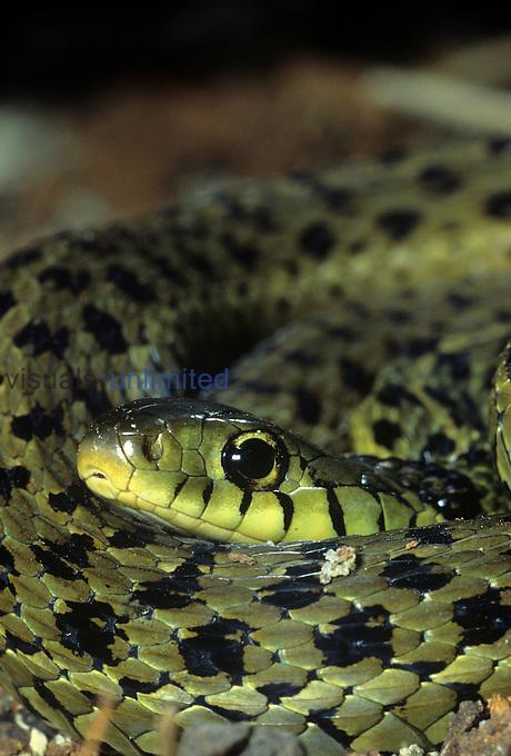 Garter Snake (Thamnophis sirtalis), USA.