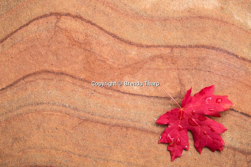 Big-tooth maple leaf on Sandstone, Zion National Park, Utah.