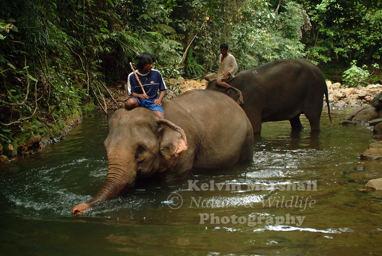 Mahouts helping elephants to take a bath.