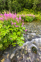 Fireweed and spring stream, Alaska Range mountains, Interior, Alaska.