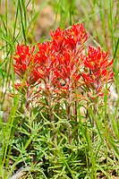 Wyoming Indian paintbrush, Castilleja linariifolia, Queen's Garden Trail, Bryce Canyon National Park, Utah, USA