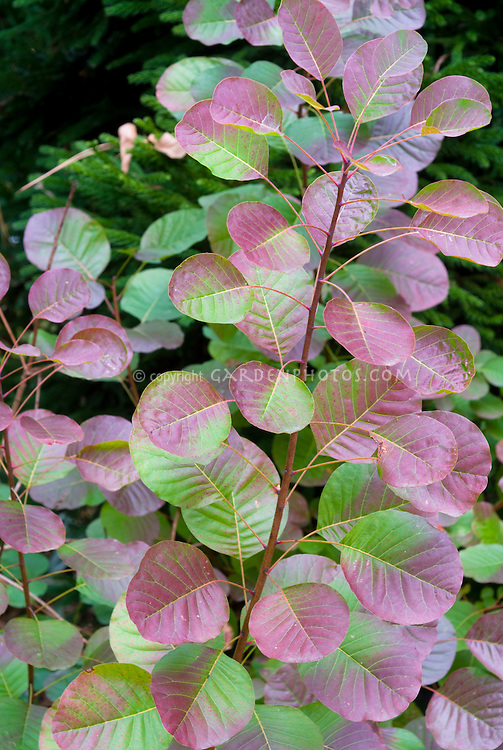 Cotinus coggygria Pink Champagne in autumn fall foliage color, Smoke Tree, smoke bush