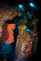 Coral-covered interior of wreck, with fan, Liberty Wreck dive site, Tulamben, near Seraya, Bali, Indonesia, Indian Ocean
