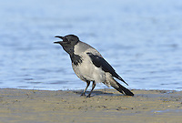 Hooded Crow Corvus cornix has grubby grey body plumage with black wings and tail, a black head, throat and centre of the upper breast. It is found north and west of the Clyde-Dornoch line, and throughout Ireland and on the Isle of Man. All crows are wary birds that utter a harsh, slightly slurred creeaa-creeaa-creeaa call.