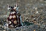 Mimic Octopus, Thaumoctopus mimicus, Lembeh Strait, Bitung, Manado, North Sulawesi, Indonesia, Pacific Ocean