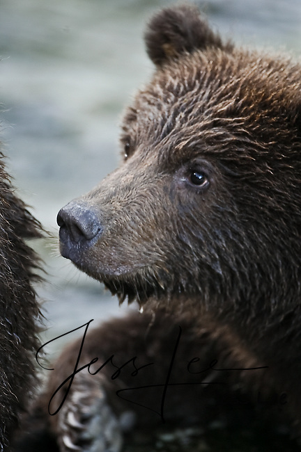 A photo of a coastal grizzly cub. Grizzly Bear or brown bear alaska Alaska Brown bears also known as Costal Grizzlies or grizzly bears