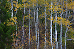 Idaho, Eastern, Swan Valley. The yellow leaves and white trunks of quaking aspen contrast against the forest greens in early October.