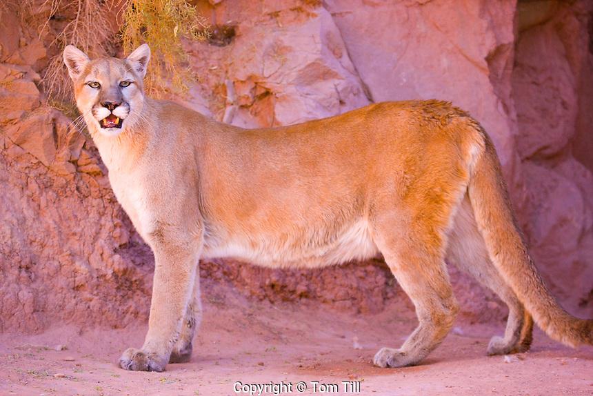 Female Cougar  (mountain lion)      Felis concolor   Colorado Plateau, Utah