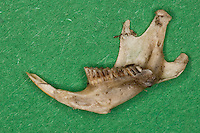 Untersuchung von einem Gewölle einer Eule, Schleiereule, Speiballen, Unterkiefer als unverdauliche Nahrungsreste, die unverdauten Knochen als Nahrungsreste wurden aus einem Geölle heraus sortiert, Schleiereule hat eine Maus gefressen