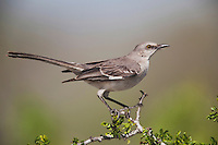 Northern Mockingbird (Mimus polyglottos),adult perched,Starr County, Rio Grande Valley, Texas, USA