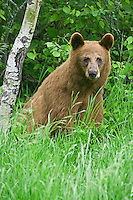 Cinnamon colored Black Bear (ursus amercianus) sitting in a field of grass on the edge of a forest near Riding Mountain National Park, Manitoba, Canada