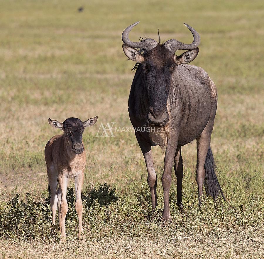 It was the birthing season on the plains of Ngorongoro Crater, Ndutu and the Serengeti.
