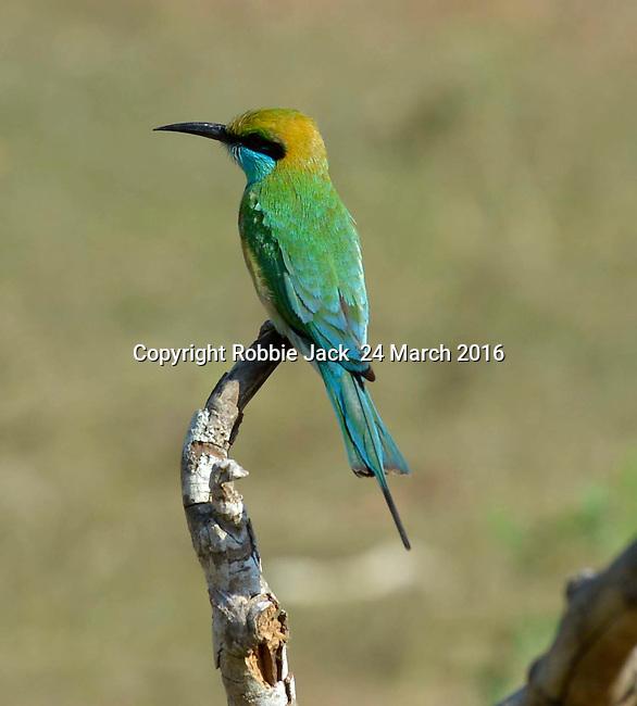 Yala National Park Sri Lanka<br /> Little-Green Bee-Eater