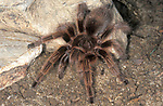 Curly & Red Rump Cross Hybrid Tarantula, 2nd generation, Brachypelma albopilosa x vagans, captive