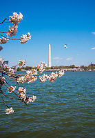 APR 03 Japanese Cherry Blossoms in Washington