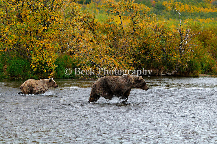 In the fall in Alaska, this mother grizzly bear and her cub, Ursus arctos horribilis, wade in the river in earch of salmon.