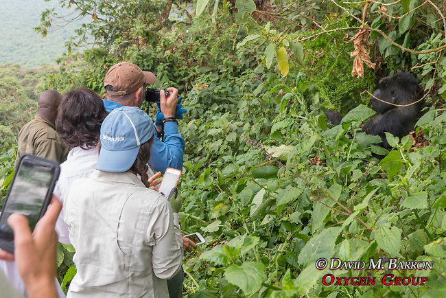 Visiting With Mountain Gorilla