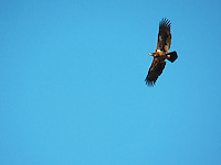 Golden Eagle patrols in the fall air over Big Lake, Alberta.