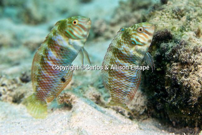 Xyrichtys splendens, Green razorfish, Bonaire