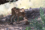 cheetahs greeting each other