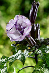 Datura metel fastuosa, Purple Ballerina, flower blossom. Alson know as Devil's trumpet or Angel's trumpet.