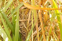 Harvest mouse (Micromys minutus) nest in wetland habitat. Surrey, UK.
