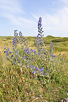 Vipers Bugloss - Echium vulgare at Kenfig Nature Reserve, South Wales