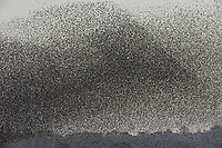 Starlings - Sturnus vulgaris