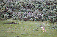 A baby pronghorn looks for its mother.