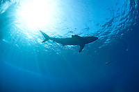 Silhouettte of a silky shark