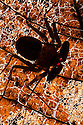 Florida Tailless Whip Scorpion {Phrynus Marginemaculata} backlit on dead leaf. Captive, originating from North America and Caribbean. website