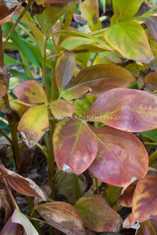Paeonia 'Fairfield' peony leaves in autumn fall foliage leaf color