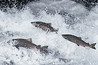 Chinook salmon or King salmon (Oncorhynchus tshawytscha) leaping falls during migration to their spawning area.  Pacific Northwest.  Fall.