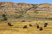 "American Bison herd in ""badlands"" of Theodore Roosevelt National Park, North Dakota.  Late Summer."