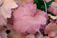 Heuchera 'Southern Comfort' shade garden foliage perennial plant with beige salmon colored leaves, ground cover plant